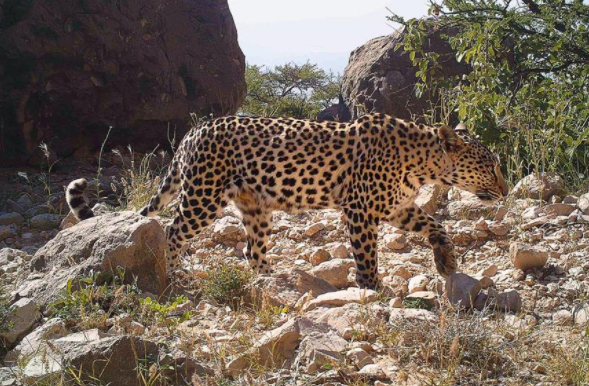Environment Conservation Office Documents Presence of Arabia Leopard in Dhofar